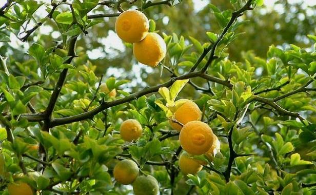 Sibirski limun - sadnice, sadnja, uzgoj, upotreba u ishrani i cena