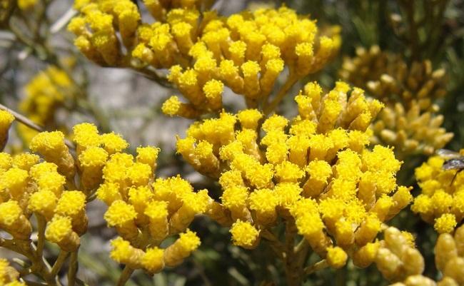 Smilje biljka - sadnja, uzgoj, upotreba i ulje od smilja