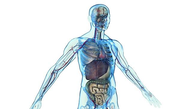 Evo koji se sve organi u stomaku nalaze sa leve i desne strane